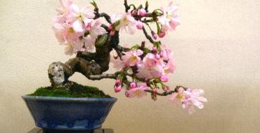 regalare un bonsai a Natale