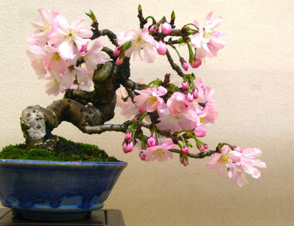 regalare un bonsai a Natale